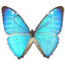 Morpho Zephyritis Male Emoticon