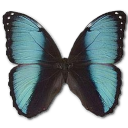Morpho Pseudogamedes Emoticon