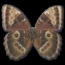 Morpho Peleides Montezuma Underside Emoticon