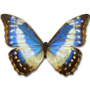 Morpho Cypress Cyanides Female Emoticon