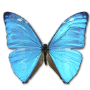 Morpho Adonis Huallega Top Emoticon