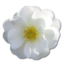 Wild Rose White 2 Emoticon
