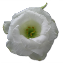 Wild Rose White 1 Emoticon