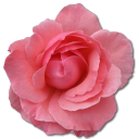 Wild Rose Pink 2 Emoticon