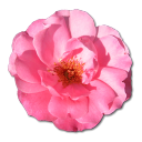 Wild Rose Pink 1 Emoticon