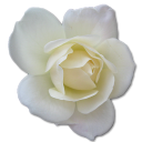 Rose White 2 Emoticon