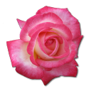 Rose Tea Emoticon