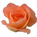 Rose Peach 2 Emoticon