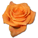 Rose Orange 2 Emoticon