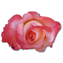 Rose China Emoticon