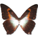 Morpho Phano Red Emoticon