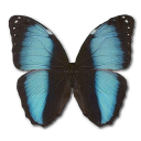 Morpho Patroclus Orestes Male Emoticon