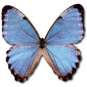 Morpho Partis Thamyris Emoticon