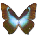 Morpho Cissis Emoticon